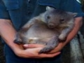A Wombat for Lava