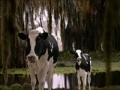California Milk Happy Cow Audition